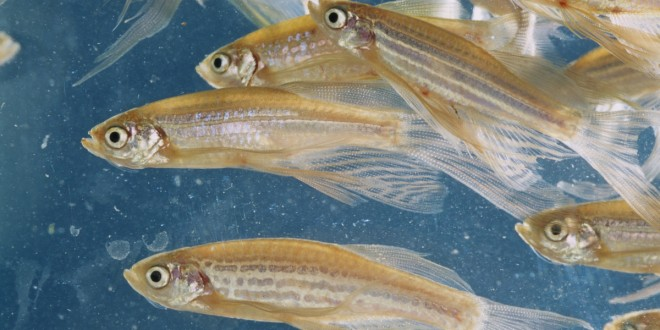 Drunk Fish Totally Impress Sober Fish, Study Finds