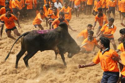 SC gives an earful to Centre on permitting jallikattu