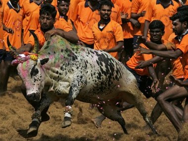 Indian youth attempt to catch a bull during a bull-taming festival known as Jallikattu at Palamedu Village near Madurai, some 500 kms south of Chennai, on January 16, 2011. The event was held as part of Tamil New Year 'Ponggal' celebrations. AFP/STR