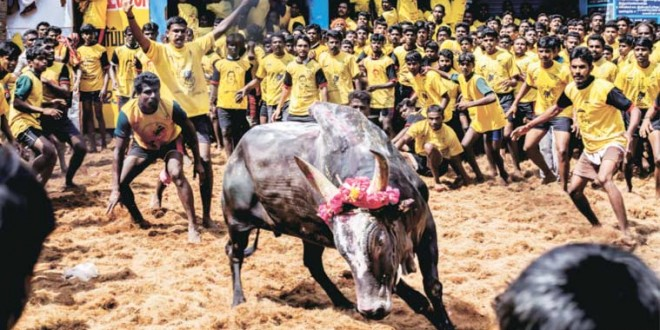 A tussle between judges and jallikattu supporters on who cares more for bulls