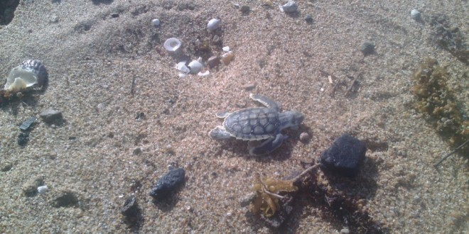 Baby turtle found near lumps of coal sparks fears for Great Barrier Reef