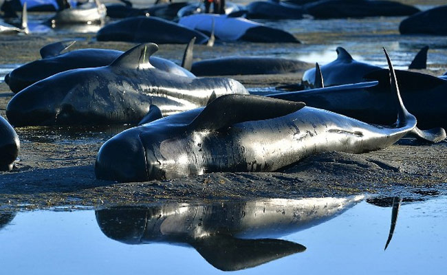 stranded-whales-new-zealand