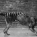 Scientists investigate Tasmanian tiger sightings